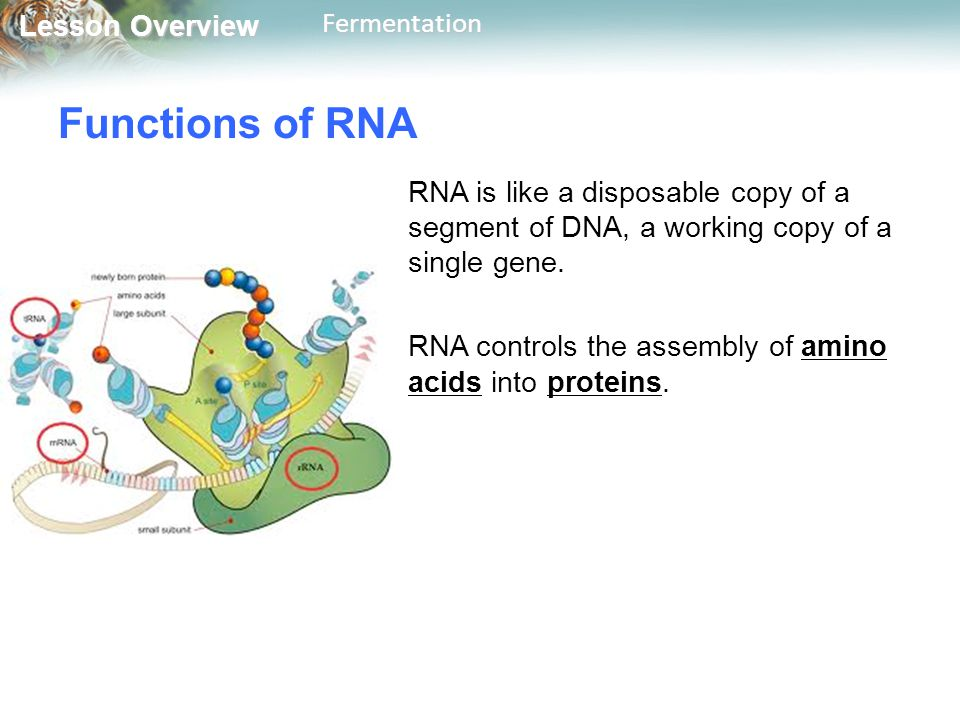 Functions of RNA RNA is like a disposable copy of a segment of DNA, a working copy of a single gene.