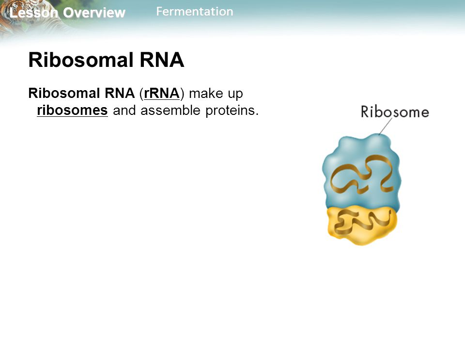 Ribosomal RNA Ribosomal RNA (rRNA) make up ribosomes and assemble proteins.
