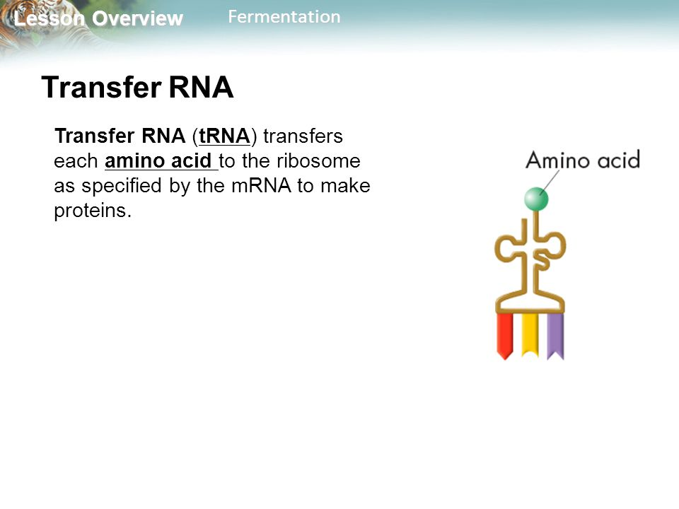 Transfer RNA Transfer RNA (tRNA) transfers each amino acid to the ribosome as specified by the mRNA to make proteins.