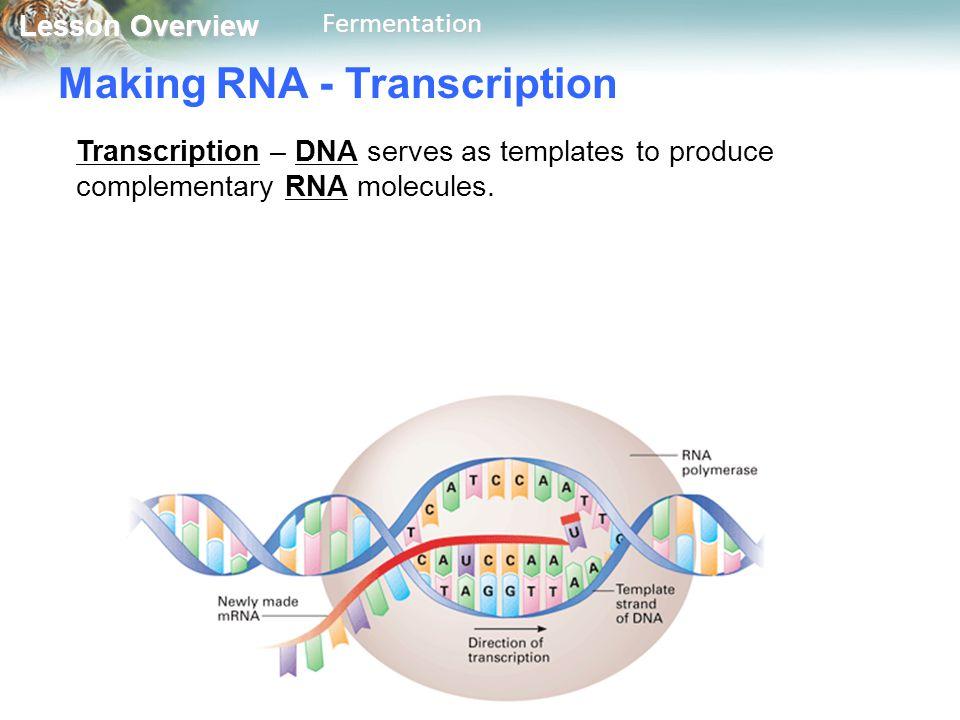 Making RNA - Transcription