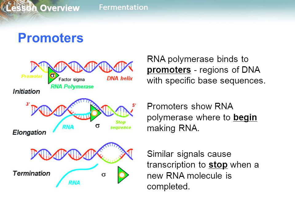 Promoters RNA polymerase binds to promoters - regions of DNA with specific base sequences. Promoters show RNA polymerase where to begin making RNA.