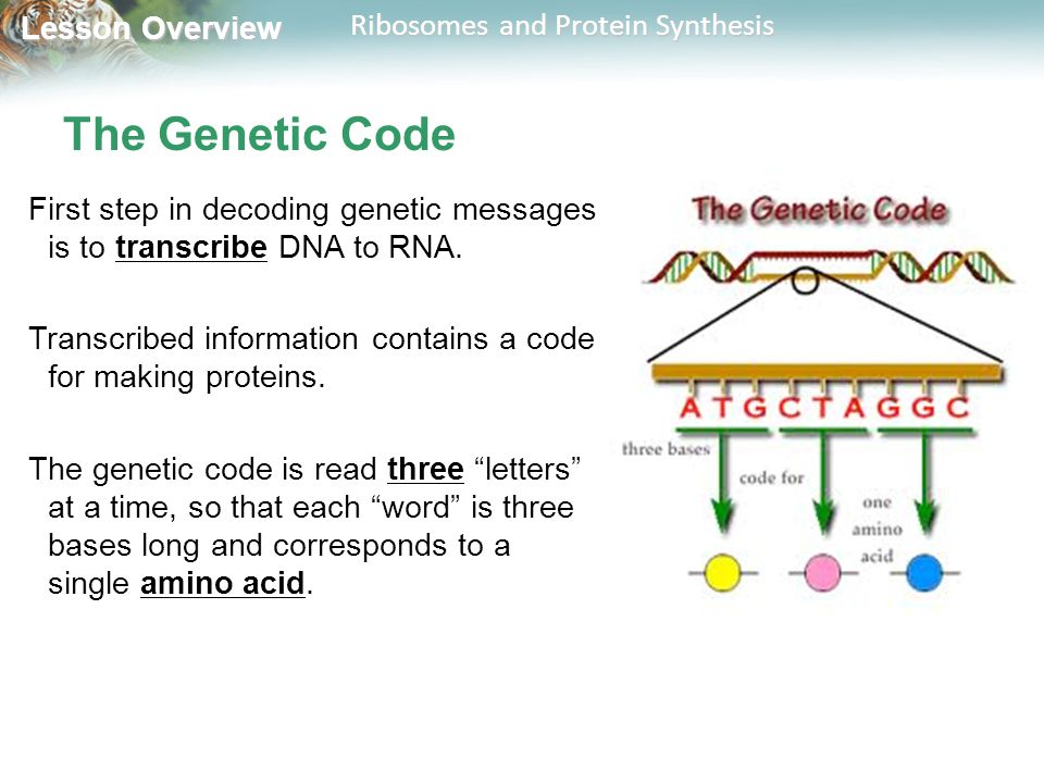 The Genetic Code First step in decoding genetic messages is to transcribe DNA to RNA. Transcribed information contains a code for making proteins.
