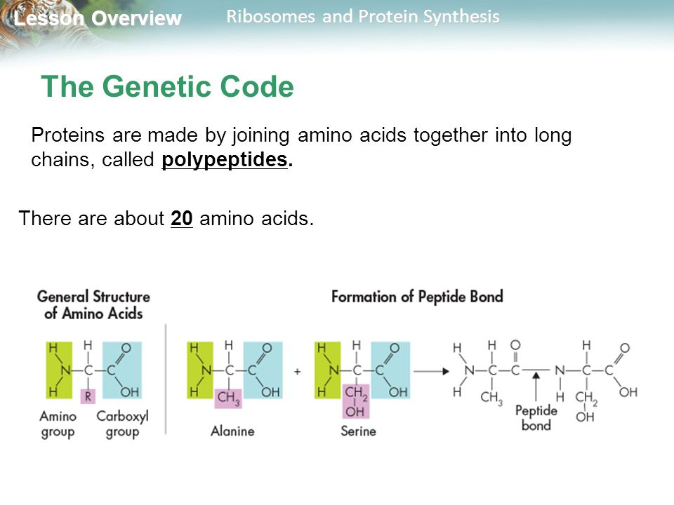 The Genetic Code Proteins are made by joining amino acids together into long chains, called polypeptides.