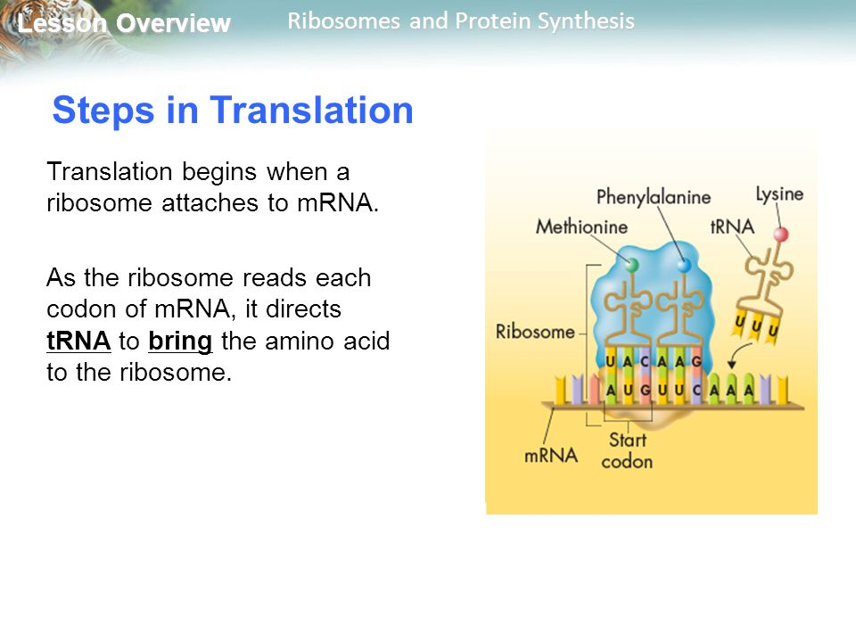 Steps in Translation Translation begins when a ribosome attaches to mRNA.
