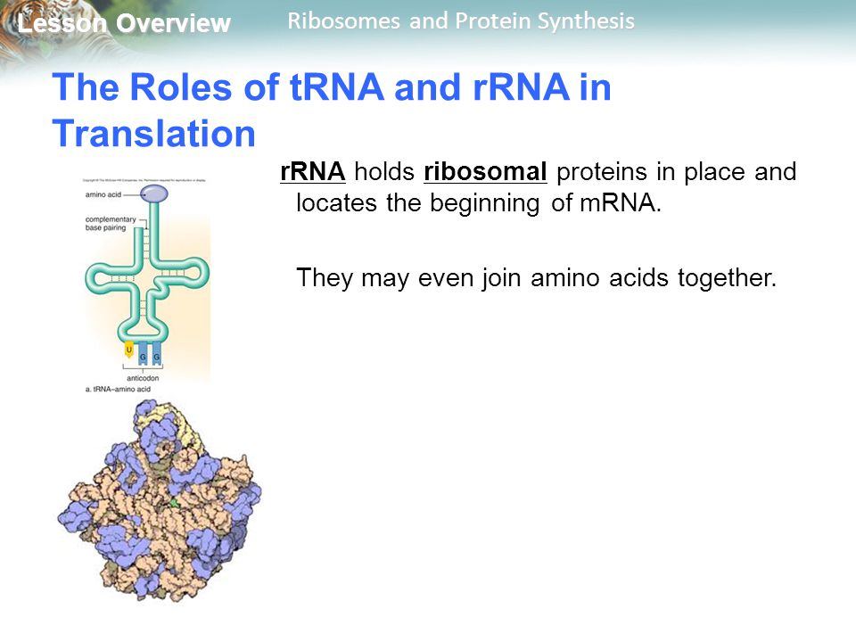 The Roles of tRNA and rRNA in Translation
