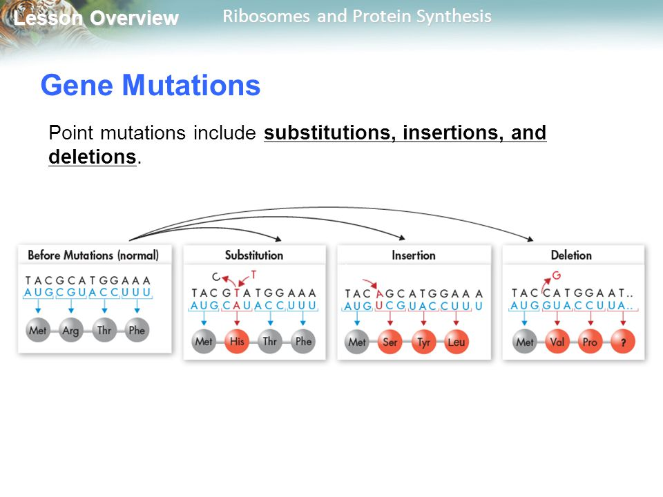 Gene Mutations Point mutations include substitutions, insertions, and deletions.