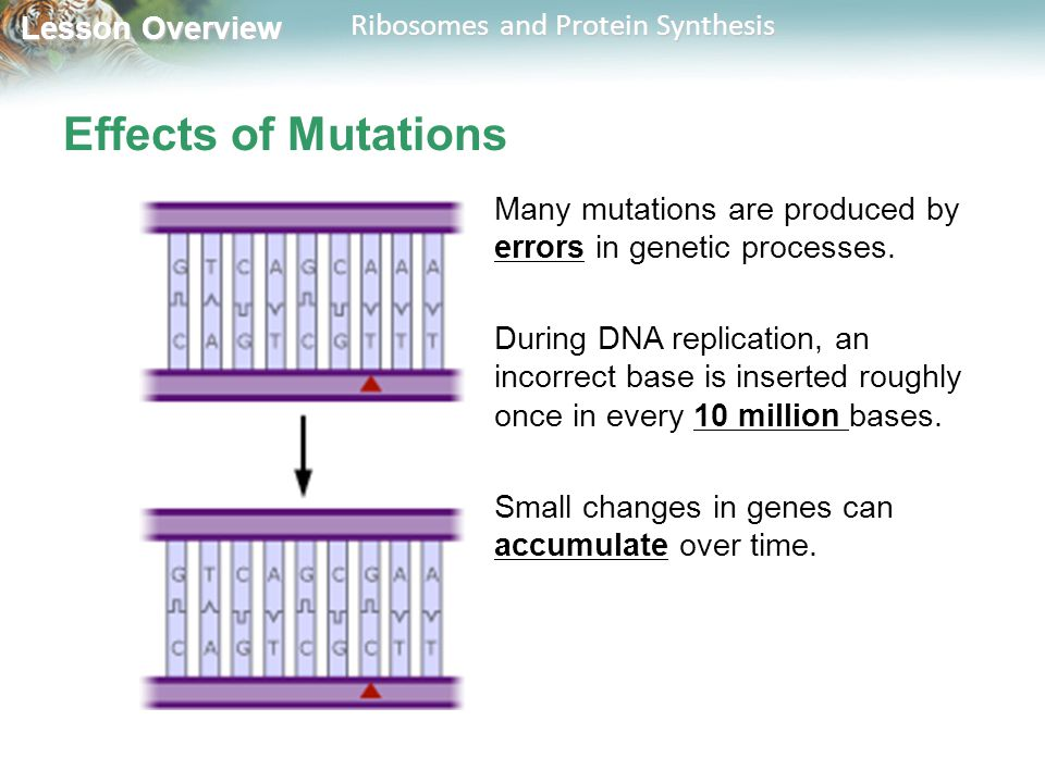 Effects of Mutations Many mutations are produced by errors in genetic processes.