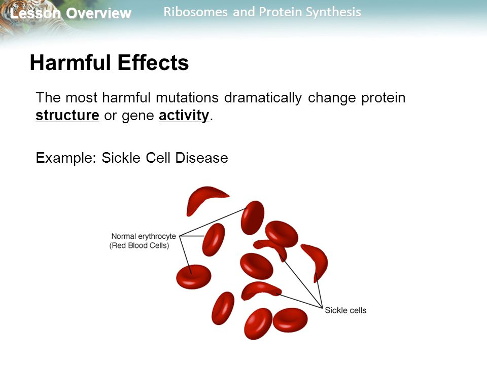 Harmful Effects The most harmful mutations dramatically change protein structure or gene activity. Example: Sickle Cell Disease.