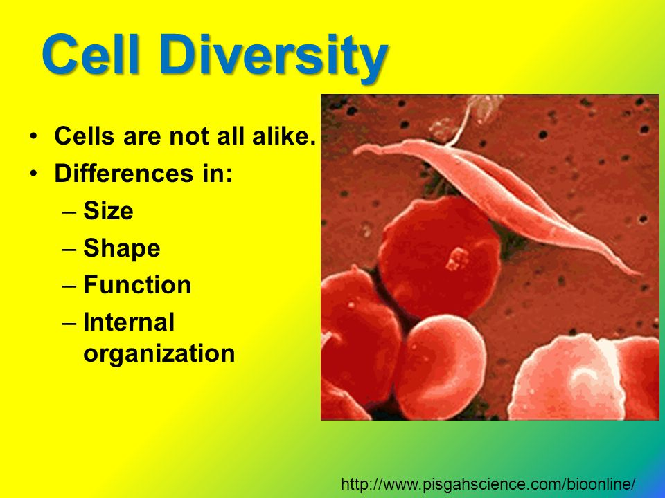 Cell Diversity Cells are not all alike. Differences in: Size Shape
