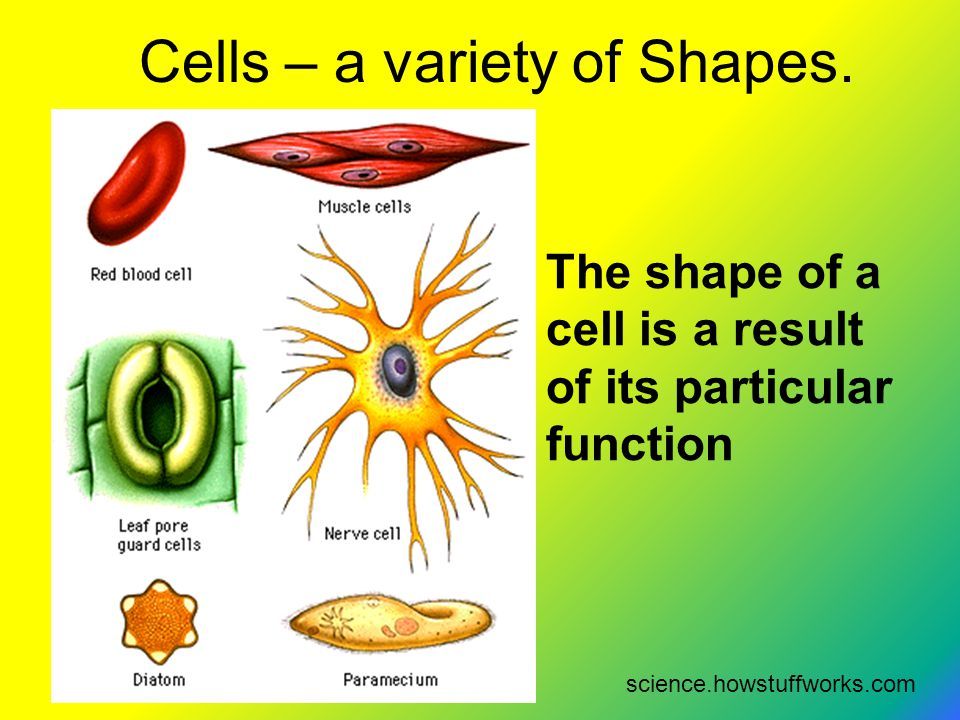 Cells – a variety of Shapes.