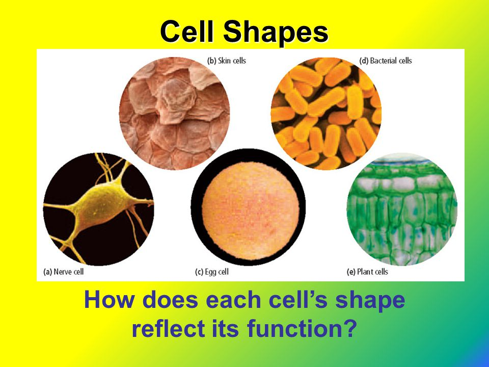 How does each cell's shape