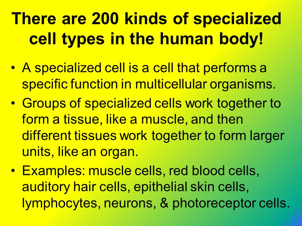 There are 200 kinds of specialized cell types in the human body!