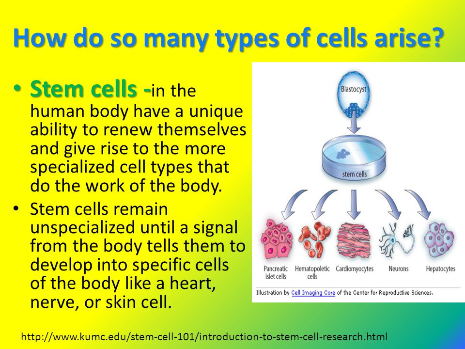 How do so many types of cells arise