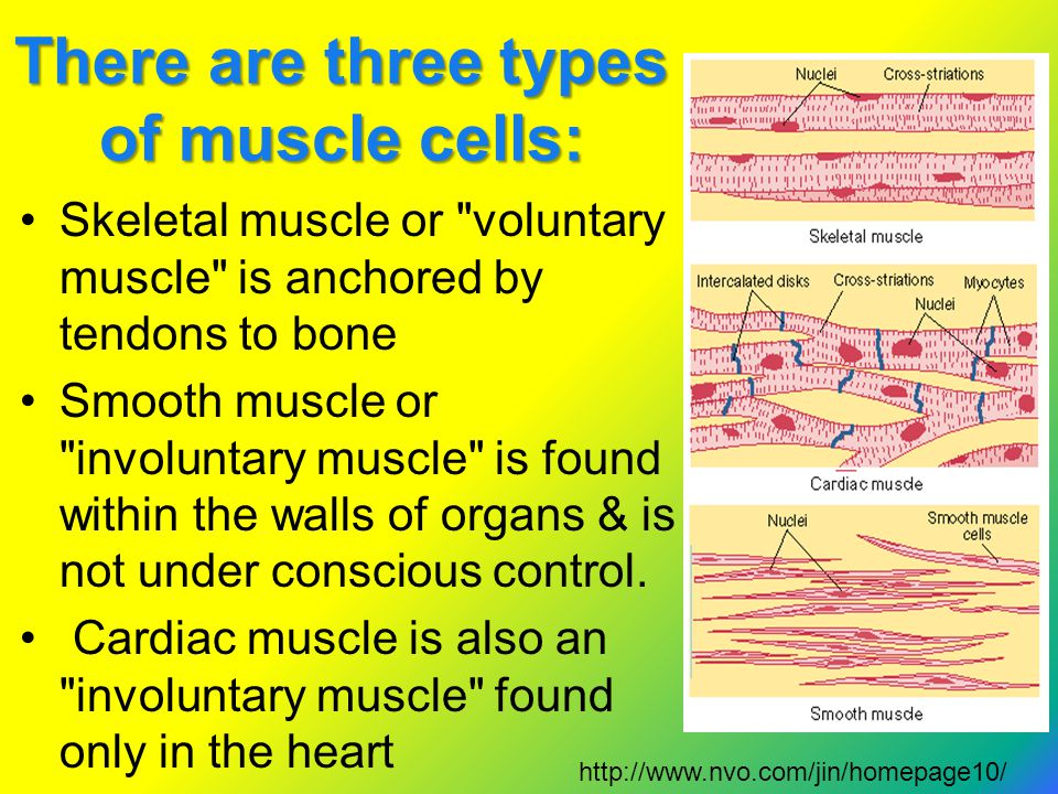 There are three types of muscle cells: