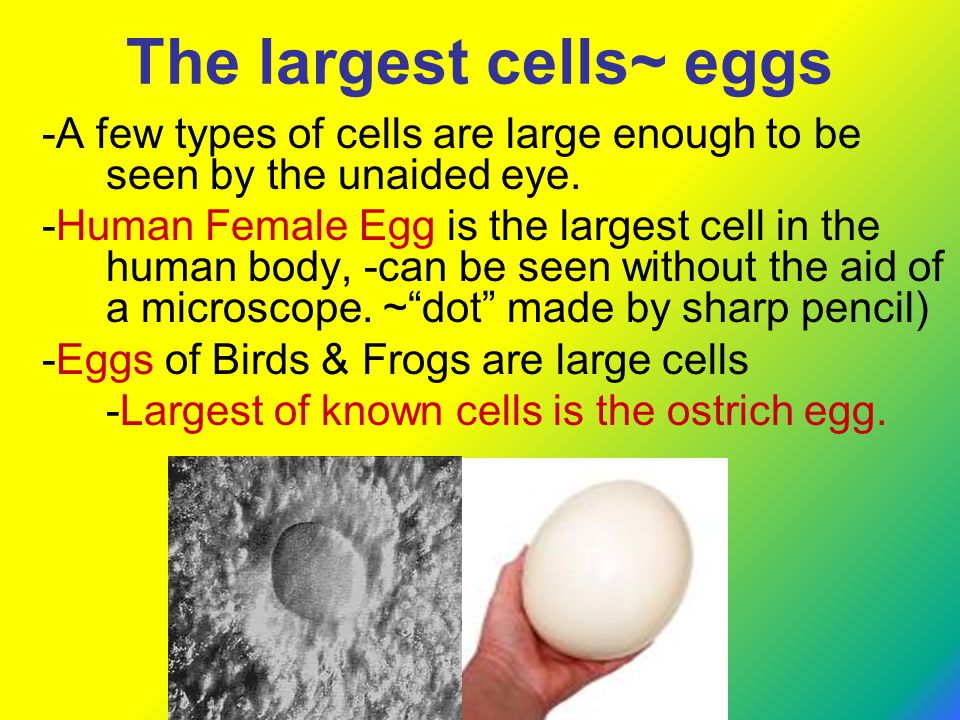 The largest cells~ eggs