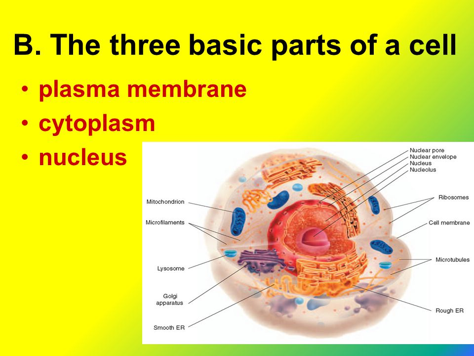 B. The three basic parts of a cell