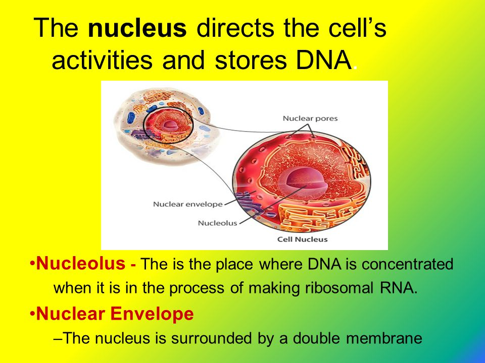 The nucleus directs the cell's activities and stores DNA.