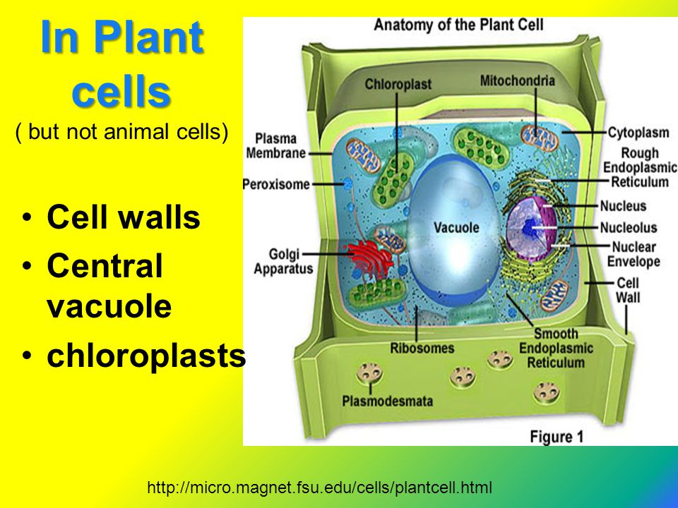 In Plant cells ( but not animal cells)