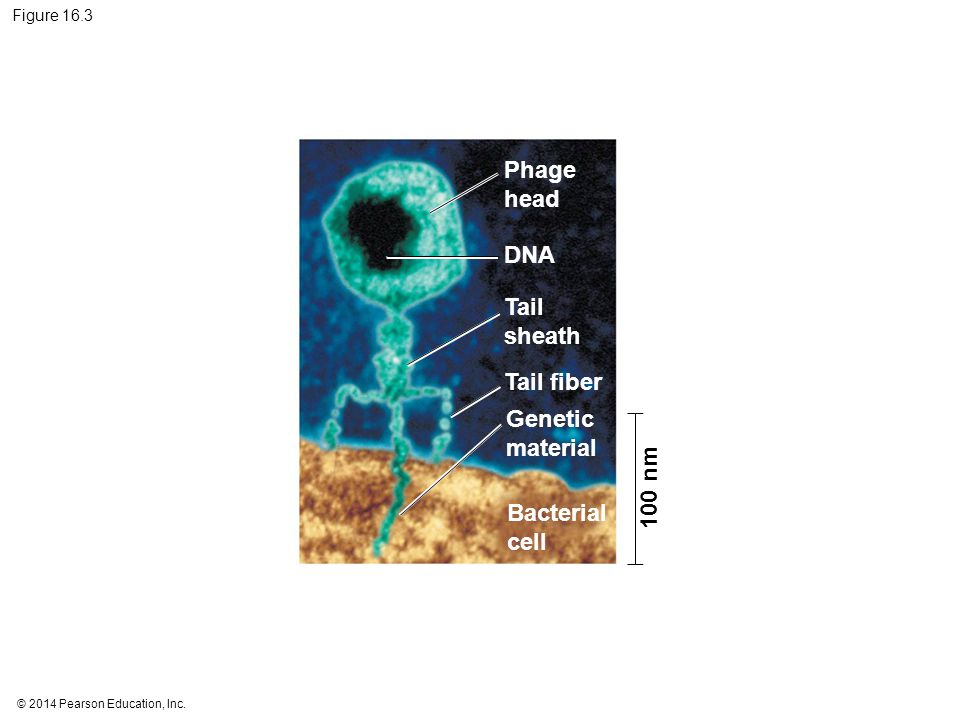 Phage head DNA Tail sheath Tail fiber Genetic material 100 nm