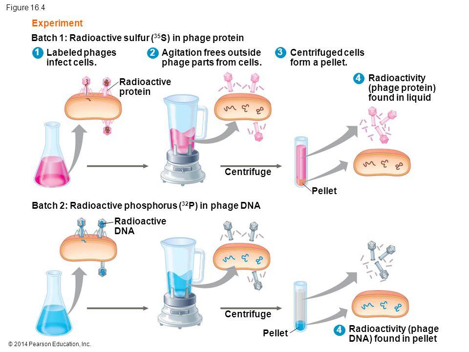 Batch 1: Radioactive sulfur (35S) in phage protein 1