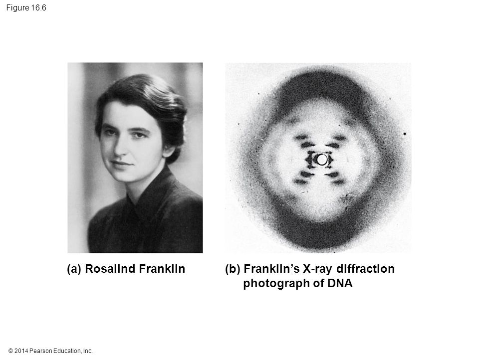 (b) Franklin's X-ray diffraction photograph of DNA
