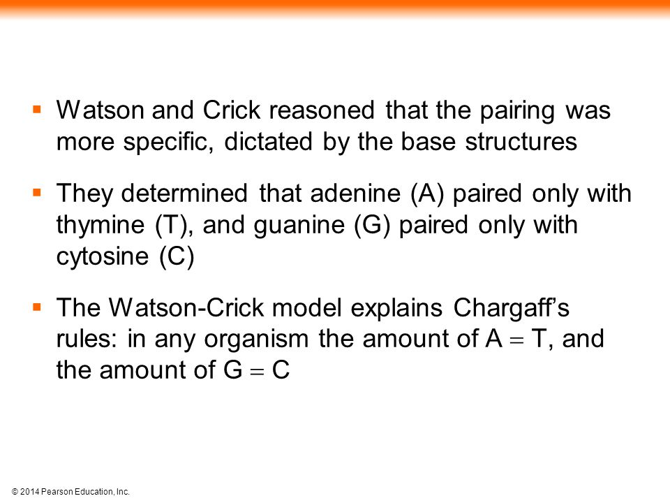 Watson and Crick reasoned that the pairing was more specific, dictated by the base structures