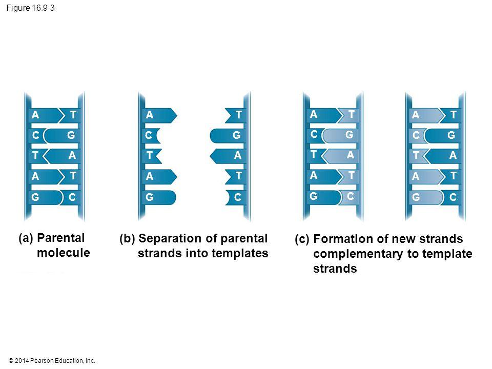 (b) Separation of parental strands into templates