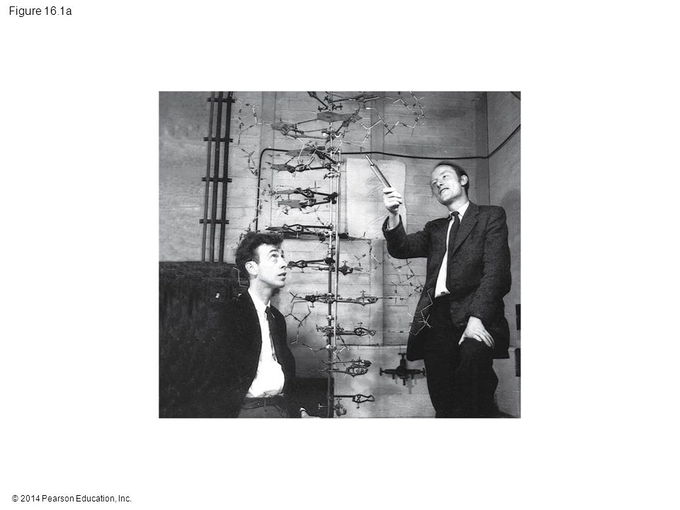 Figure 16.1a Figure 16.1a What is the structure of DNA (part 1: Watson and Crick)