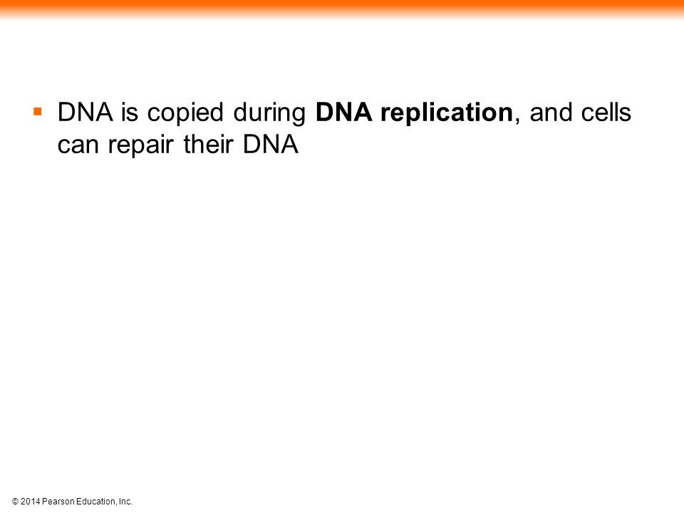 DNA is copied during DNA replication, and cells can repair their DNA