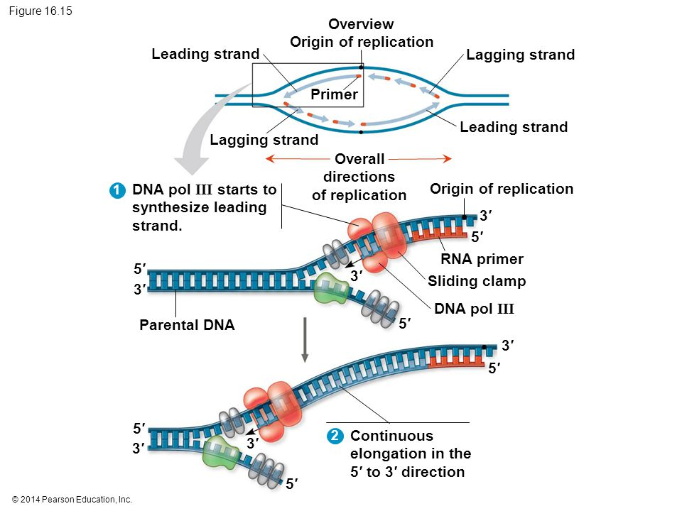 Overview Origin of replication Overall directions of replication