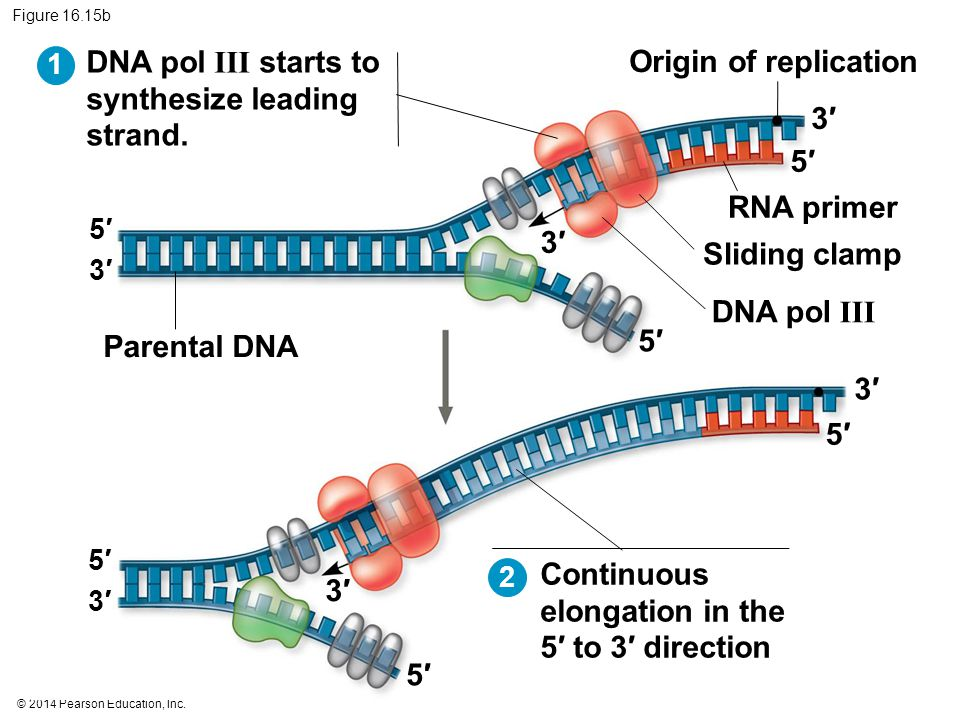DNA pol III starts to synthesize leading strand. Origin of replication