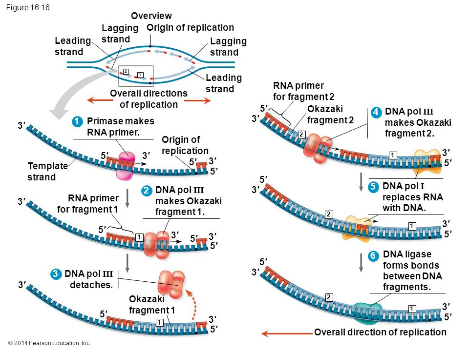 Overall directions of replication