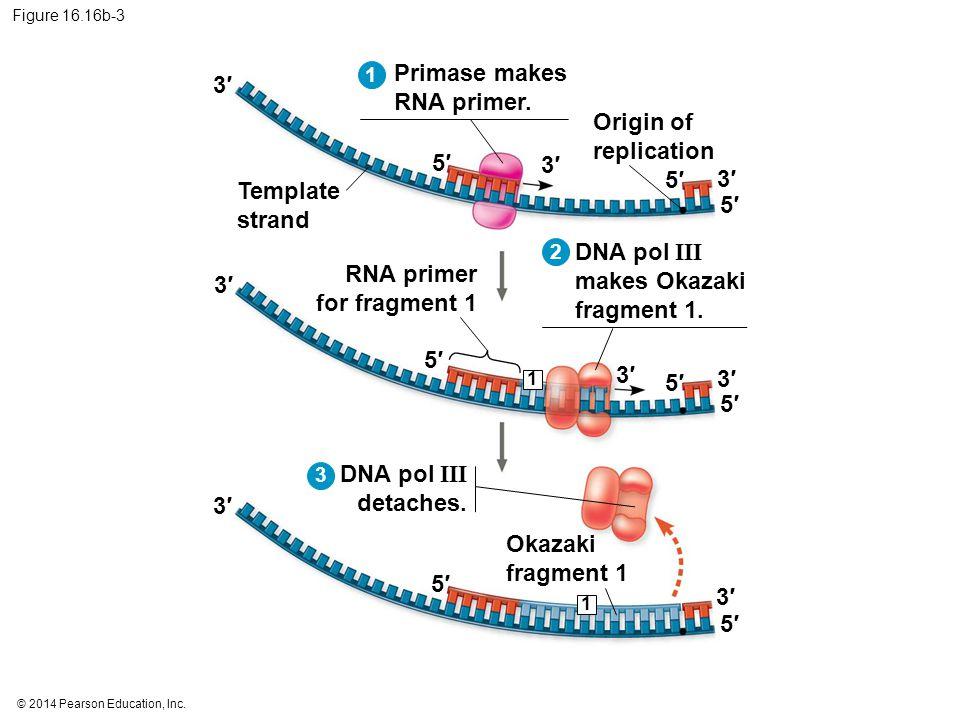 DNA pol III makes Okazaki fragment 1. RNA primer for fragment 1 3′