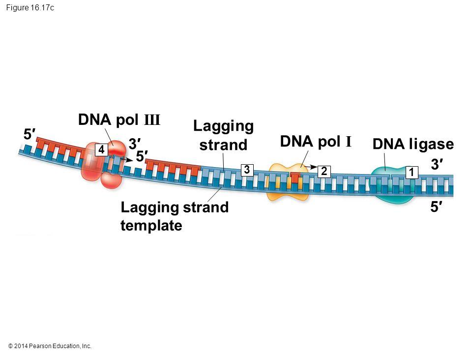 DNA pol III Lagging strand DNA pol I 5′ 3′ DNA ligase 5′ 3′