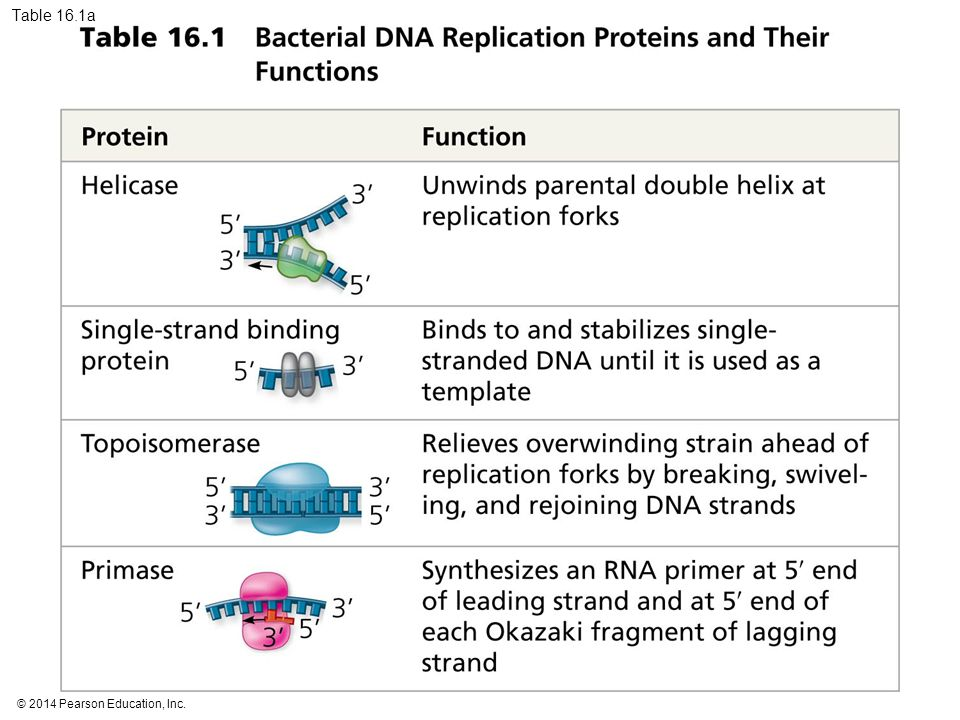 Table 16.1a Table 16.1a Bacterial DNA replication proteins and their functions (part 1)