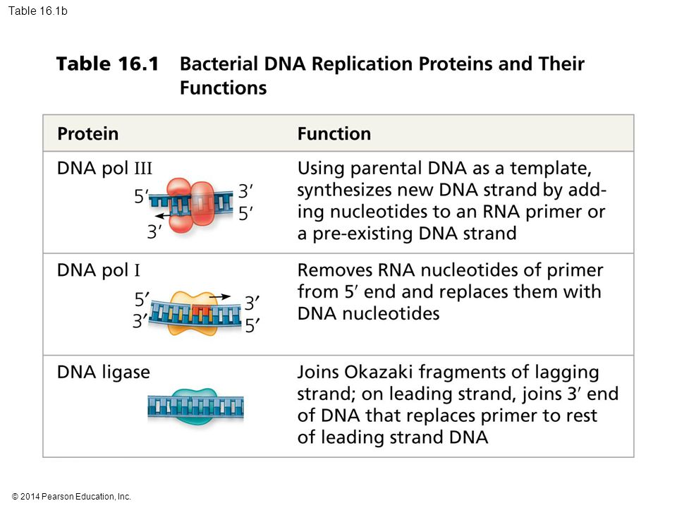 Table 16.1b Table 16.1b Bacterial DNA replication proteins and their functions (part 2)