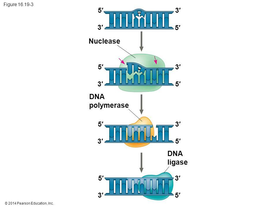 Nuclease DNA polymerase DNA ligase 5′ 3′ 3′ 5′ 5′ 3′ 3′ 5′ 5′ 3′ 3′ 5′