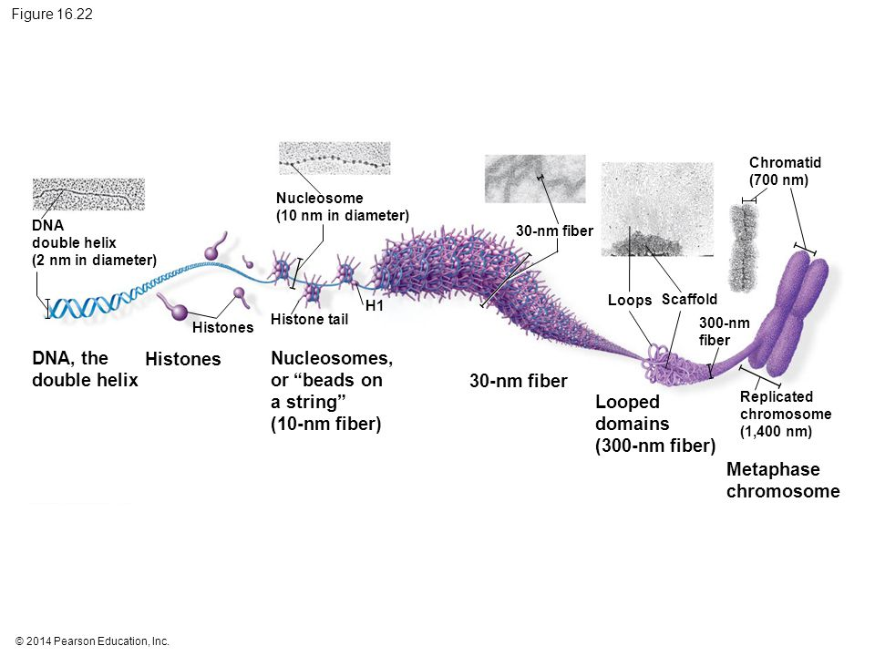 Nucleosomes, or beads on a string (10-nm fiber) 30-nm fiber