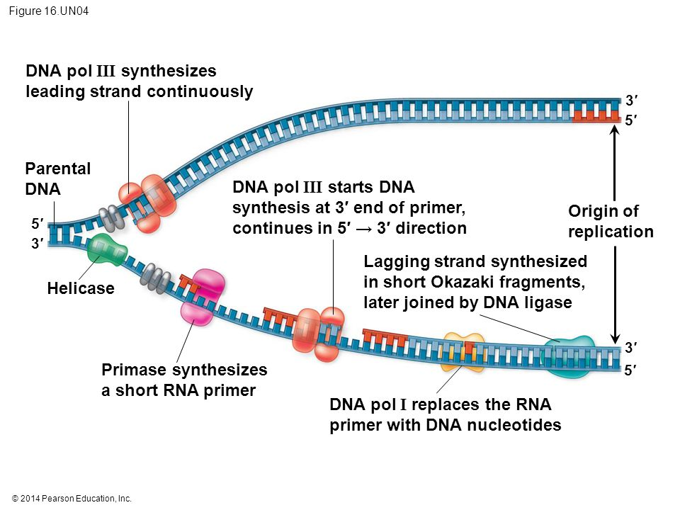 DNA pol III synthesizes leading strand continuously