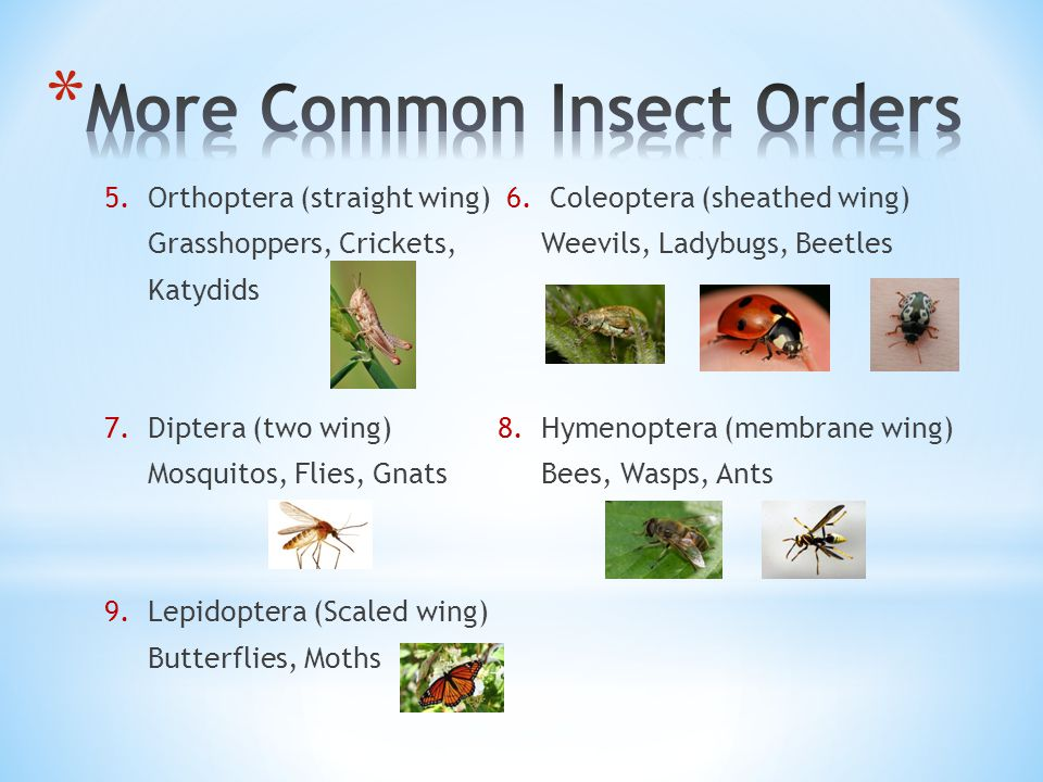 More Common Insect Orders
