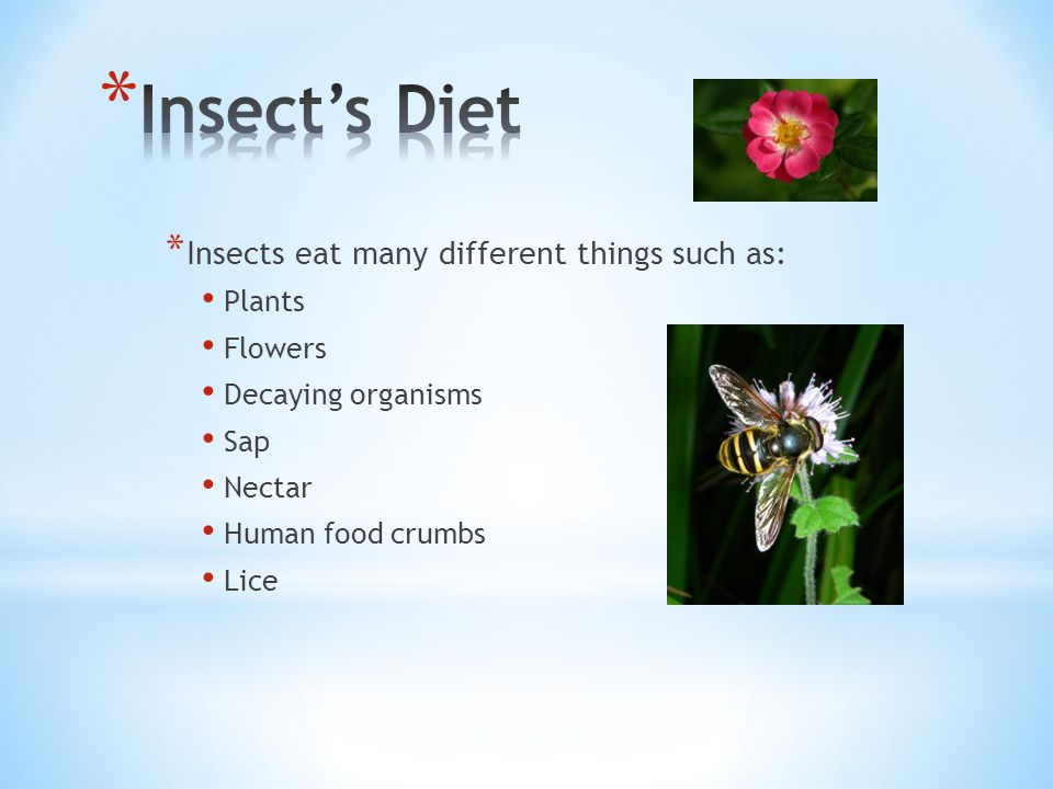 Insect's Diet Insects eat many different things such as: Plants