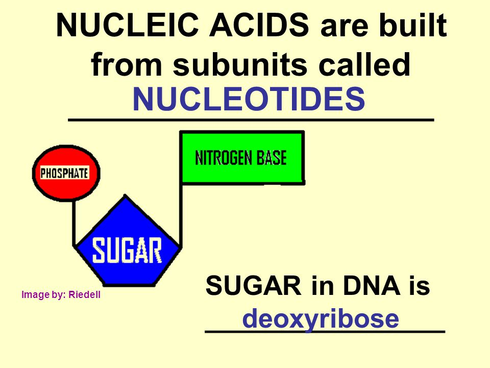 NUCLEIC ACIDS are built from subunits called ____________________