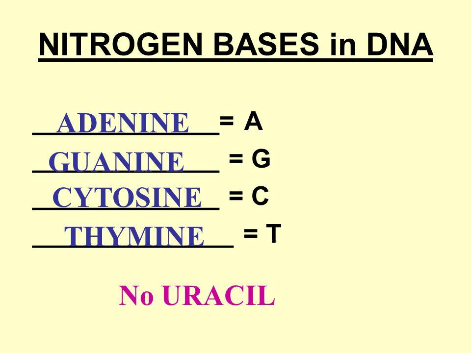NITROGEN BASES in DNA ADENINE GUANINE CYTOSINE THYMINE No URACIL