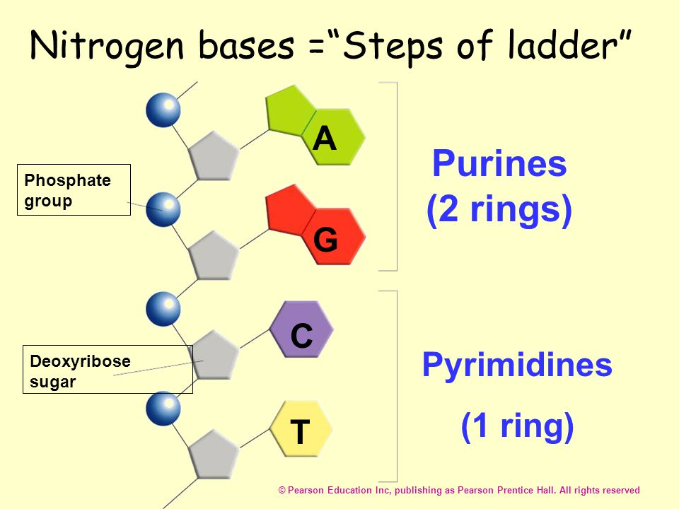 Nitrogen bases = Steps of ladder