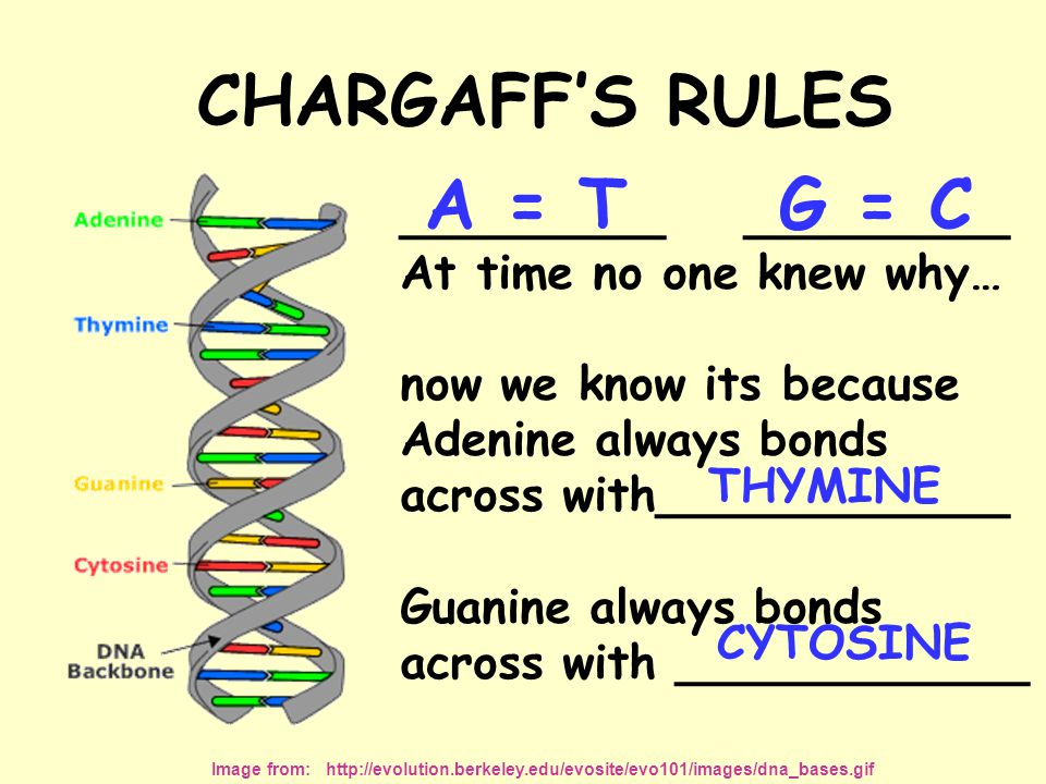 CHARGAFF'S RULES A = T G = C _________ _________