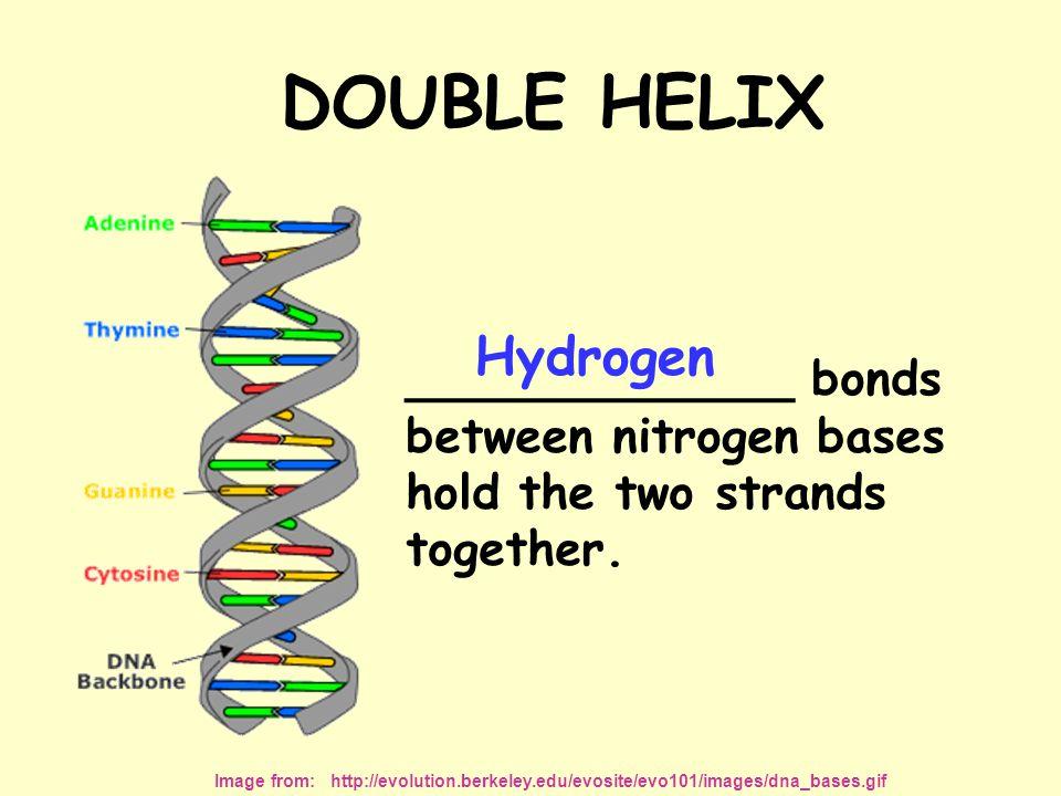 DOUBLE HELIX Hydrogen _____________ bonds