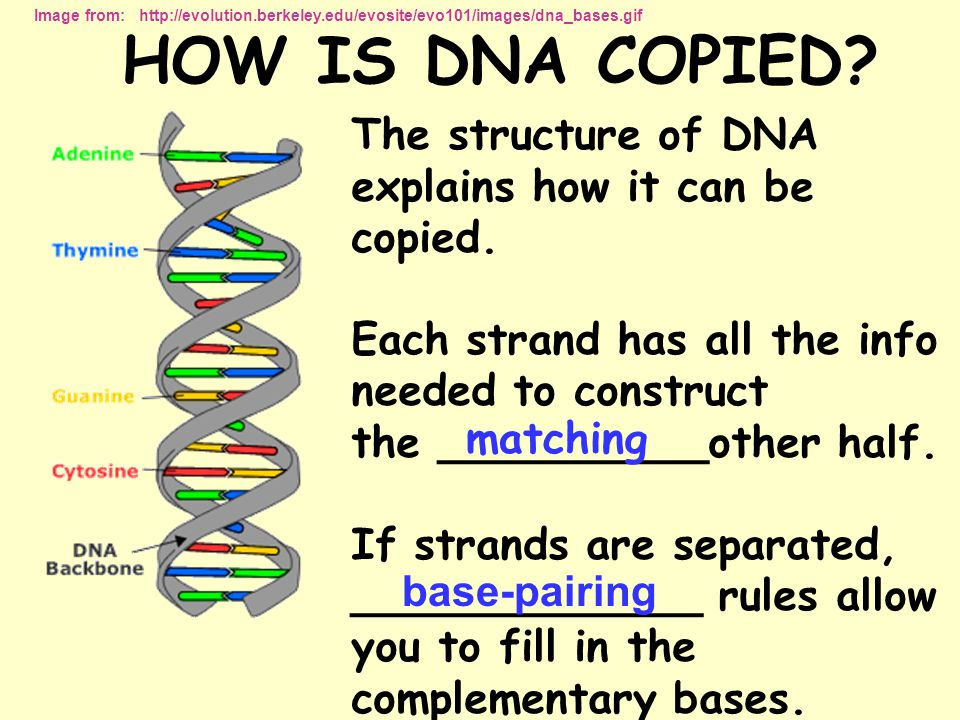 HOW IS DNA COPIED The structure of DNA explains how it can be copied.