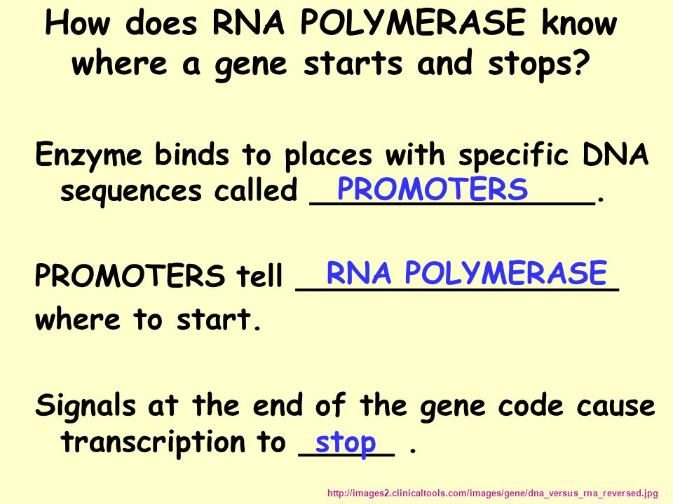 How does RNA POLYMERASE know where a gene starts and stops