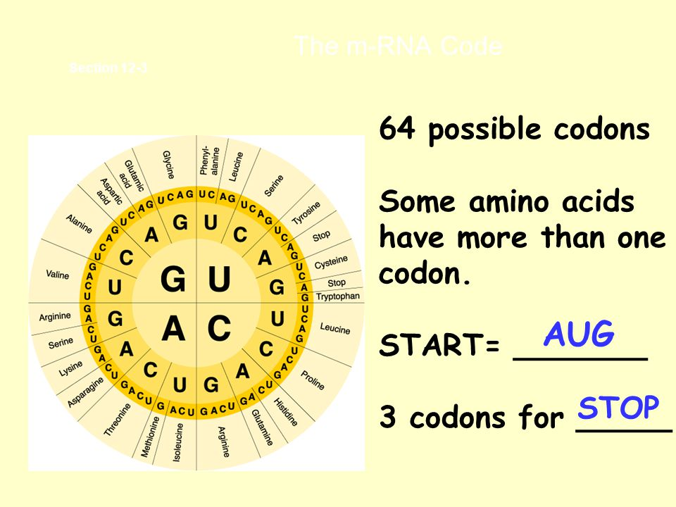 AUG 64 possible codons Some amino acids have more than one codon.