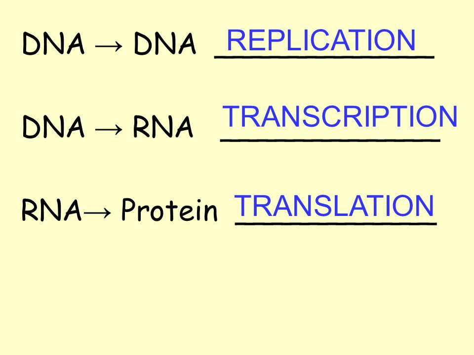 REPLICATION DNA → DNA ____________. DNA → RNA ____________. RNA→ Protein ___________. TRANSCRIPTION.